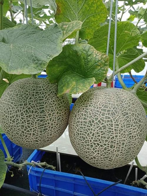 Dưa lưới đòi hỏi nhiều công sức hơn từ bố 3 con. Anh mua hạt giống xách tay của Nhật, Thái Lan, trồng theo kiểu hữu cơ. Với 50 gốc dưa, chi phí chăm sóc sẽ từ 2,5 đến 3 triệu đồng. Mỗi vụ dưa của anh kéo dài từ 3-4 tháng, cho thu hoạch khoảng 1 tạ dưa. Trước khi thu hoạch được trái ngọt, anh Giàu đã phải trải qua nhiều thất bại khi vườn gặp mưa bão, sâu bệnh. Phần nữa vì chưa nắm được kỹ thuật trồng trọt nên độ ngọt, nặng, vỏ ngoài của dưa chưa đạt kỳ vọng. Anh vẫn nhớ có lần bão quật vườn khiến anh thiệt hại hàng triệu đồng tiền giống, phân hữu cơ. Điều kiện thời tiết khắc nghiệt, gió to, mưa giông khiến anh từng nản chí, muốn bỏ cuộc.