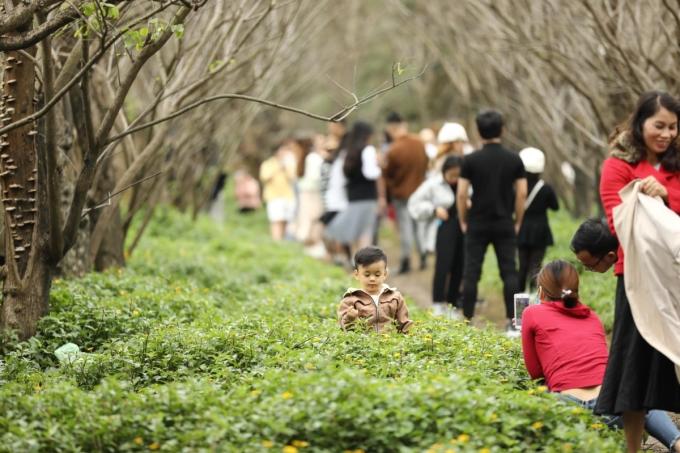 Nhiều gia đình tranh thủ đưa con đến đây chụp ảnh, khi đường hoa, chợ hoa ở Đà Nẵng vẫn chưa khai trương. Trời mùa đông hay âm u nhưng những bông hoa vàng mới nở trên thảm xanh giúp bức ảnh trở nên tươi tắn hơn. Ảnh: Phú Trần.