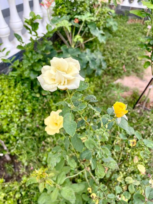 Ba chuyên trồng cây ăn trái, còn mẹ siêu mẫu thích trồng hoa hồng để khu vườn thơm ngát.