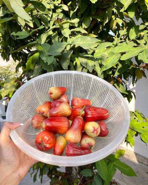 Thành quả Minh Triệu thu được sau khi thu hoạch trái chín.