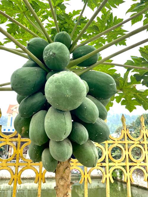 Hoa hậu khoe cây đu đủ nhà trồng chi chít trái. Đu đủ là trái cây có nhiều tác dụng tốt cho cơ thể, tăng cường sức khỏe tim mạch, chống ung thư và làm đẹp da.
