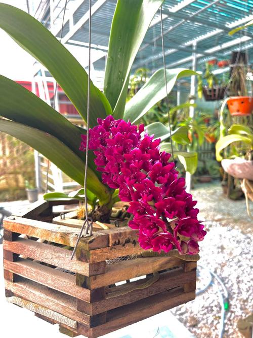 Một giò hoa khác trong thùng gỗ nở đều và đẹp.
