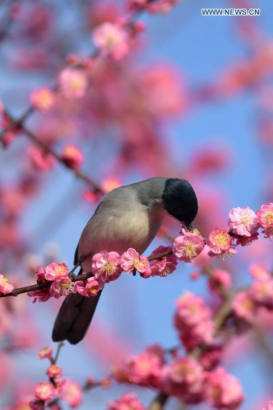 Mùa xuân hoa nở nắng ấm mời gọi những đàn chim tránh rét trở về. Hình ảnh được chụp tại huyện Xuanen, khu tự trị của người Miêu và Thổ Gia ở tỉnh Hồ Bắc, miền trung Trung Quốc.