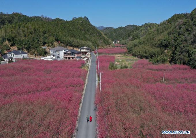 Làng Miji ở Hàng Châu, tỉnh Chiết Giang phía đông Trung Quốc trồng bạt ngàn hoa đào, đồng loạt nở những ngày sau Tết, tạo nên một cánh đồng màu hồng rực rỡ.