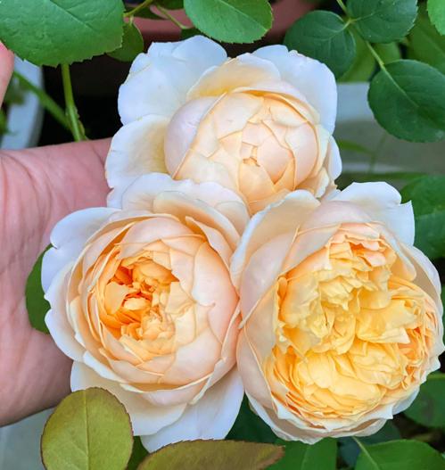 Tôi mê màu vàng nên những loại hoa hồng vàng tôi đều có gần như đầy đủ, có những cây đặc biệt, tôi nhờ người mua từ Hà Lan về trồng, chị bổ sung.