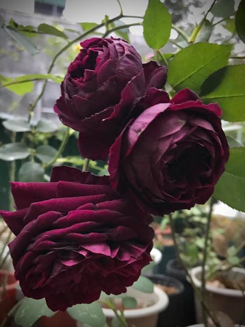 Nhưng không mang tâm lý bỏ cuộc, chị Huyền tiếp tục tìm kiếm và sở hữu được các gốc hồng nhập từ Anh, Mỹ, Thái Lan và Trung Quốc, đồng thời hỏi thêm kinh nghiệm chăm hoa từ những người đi trước để có vườn hoa đẹp. Trong ảnh là hoa The Prince với màu tím đen lạ mắt.