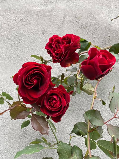Hồng cổ Sơn La - giống hồng nội hiếm hoi trong vườn của chị Huyền. Lý giải về việc rất ít trồng hồng Việt Nam, chị cho hay phom hoa thường không đẹp bằng hồng ngoại và có ít giống để lựa chọn.