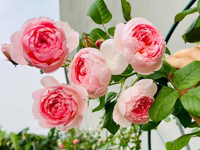 Những năm đầu trồng hoa, chị Huyền kết hợp kinh doanh để tái đầu tư vườn, còn hiện tại, chị ít kinh doanh vì tiền lời từ bán hoa hồng không thấm vào đâu so với việc đầu tư chơi hoa.