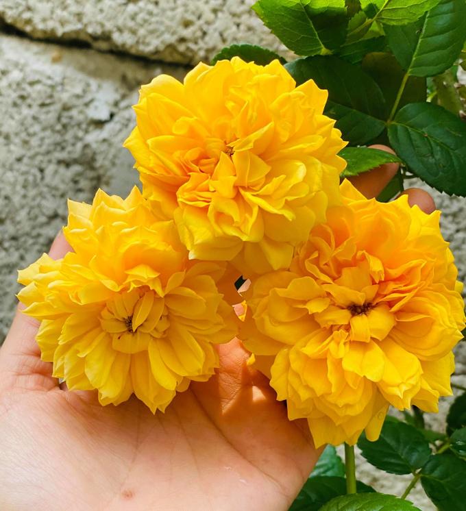 Hoa Leah Tutu.