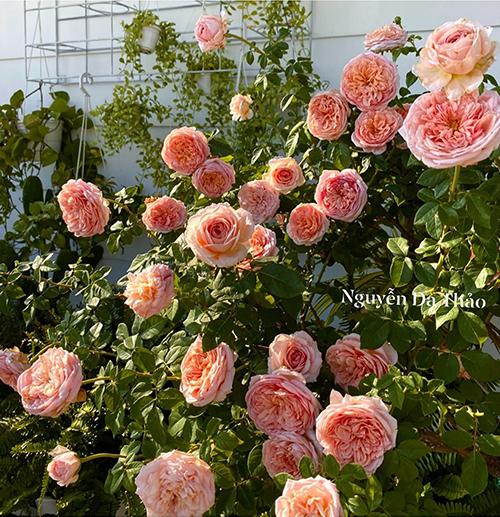 Những đoá hồng nở to, dày trong vườn nhà Quyền Linh - Dạ Thảo.