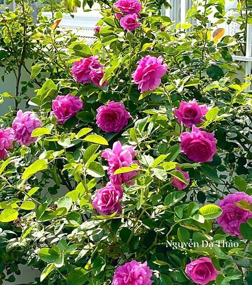 Chăm hoa hồng cực nhưng khi cây trổ hoa thơm ngát, chị Thảo như quên hết mọi mệt nhọc.