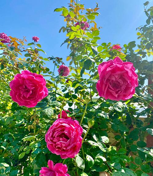 Loài hoa mà người đẹp trồng nhiều nhất trên vườn sân thượng chính là hoa hồng vì chúng mang vẻ đẹp quyến rũ, ngọt ngào và bởi Janny cảm thấy loài hoa này như phản ánh tâm hồn của cô. Cô đặt tên cho vườn của mình là Vườn hồng rực rỡ. Bạn bè tới chơi đều ngưỡng mộ thích thú với vườn hồng của cô.