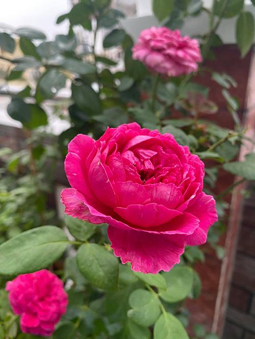 Vườn hơn trăm gốc hồng của hoa hậu Janny Thủy Trần - page 2 - 7