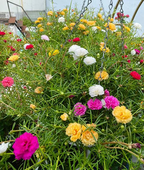 Ngoài hoa hồng cô còn trồng thêm hoa mười giờ giống Thái Lan với màu sắc phong phú và sai hoa.