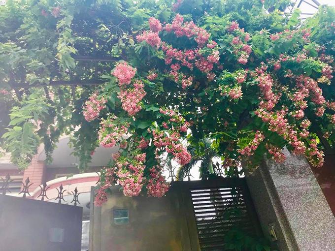 Một số ngóc ngách của ngôi nhà mà hoa hậu ở cũng có nhiều hoa. Hoa trang leo vừa làm đẹp không gian sống, vừa giúp chắn nắng, điều hòa nhiệt độ nhà ở.