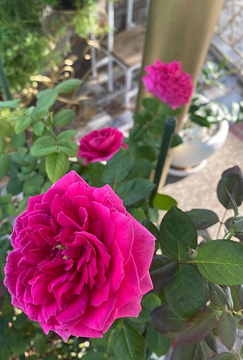 Vườn hơn trăm gốc hồng của hoa hậu Janny Thủy Trần - page 2 - 1