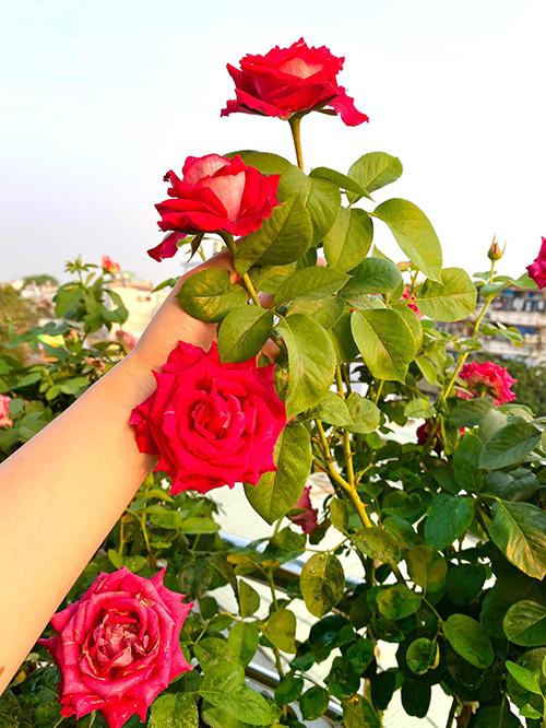 Nếu hoa hồng mắc sâu bệnh nấm bệnh cô lập tức xử lý ngay ai vì nếu không cây sẽ chết và lây bệnh qua các cây khác.
