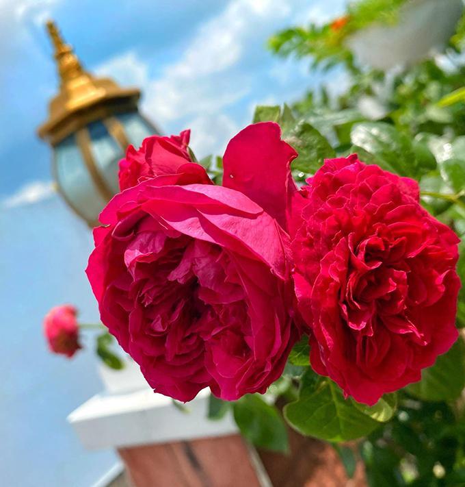 Vườn hơn trăm gốc hồng của hoa hậu Janny Thủy Trần - page 2 - 2