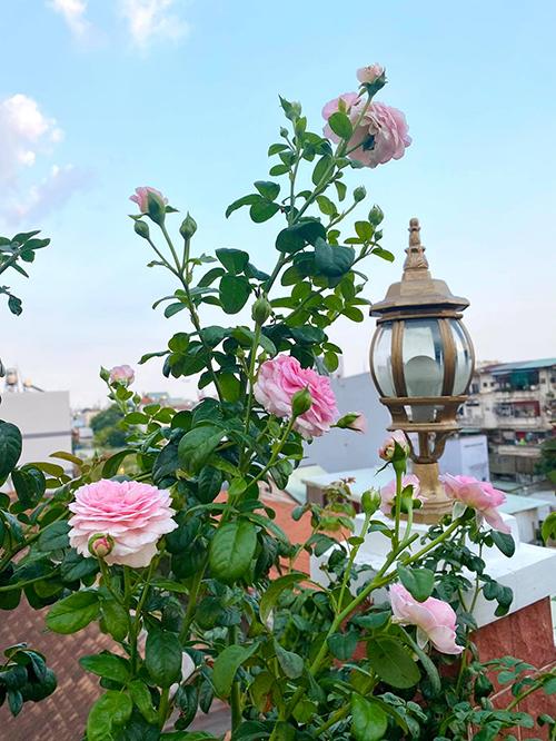 Vườn hơn trăm gốc hồng của hoa hậu Janny Thủy Trần - page 2 - 5
