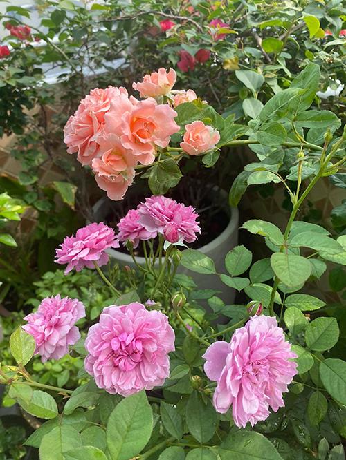 Vườn hơn trăm gốc hồng của hoa hậu Janny Thủy Trần - page 2 - 6