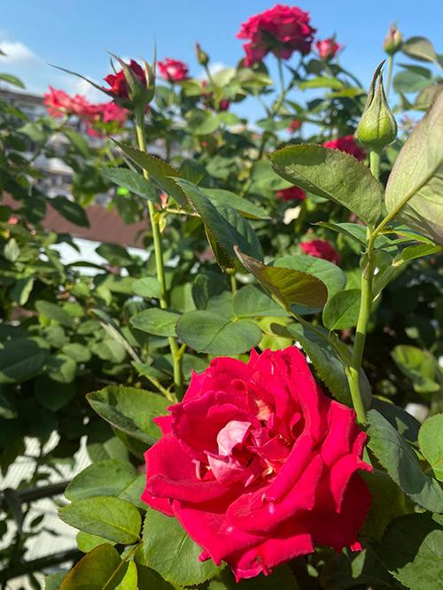 Vườn hơn trăm gốc hồng của hoa hậu Janny Thủy Trần - page 2 - 12