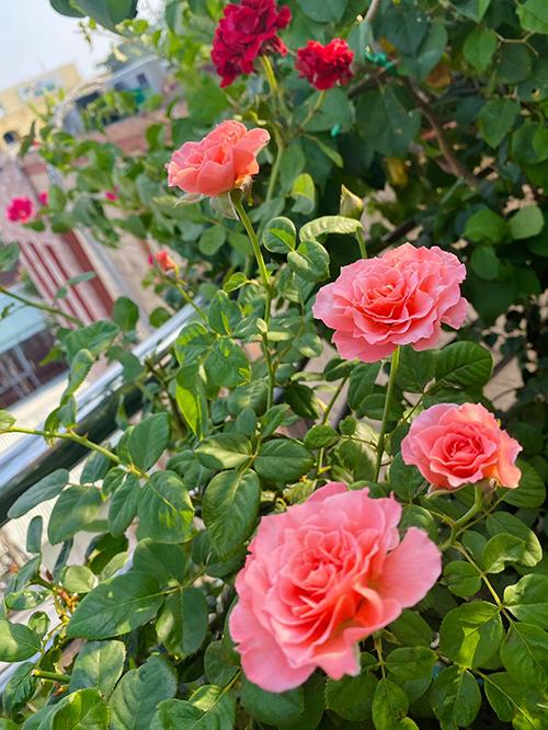 Vườn hơn trăm gốc hồng của hoa hậu Janny Thủy Trần - page 2 - 8