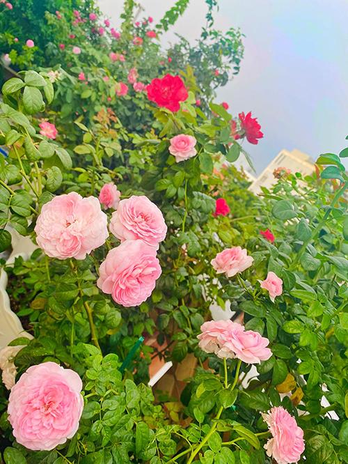 Vườn hơn trăm gốc hồng của hoa hậu Janny Thủy Trần - page 2 - 10