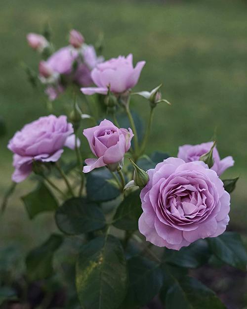 Vườn hoa hồng tím của 9X