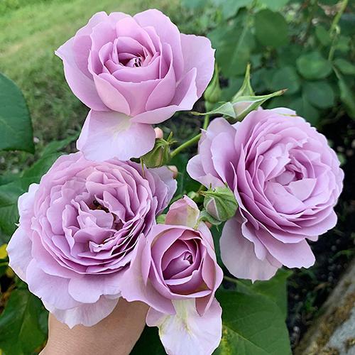 Vườn hoa hồng tím của 9X - 1