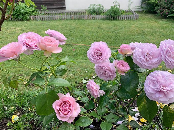 Vườn hồng tím sau cơn mưa với sắc hoa hơi chuyển hồng.
