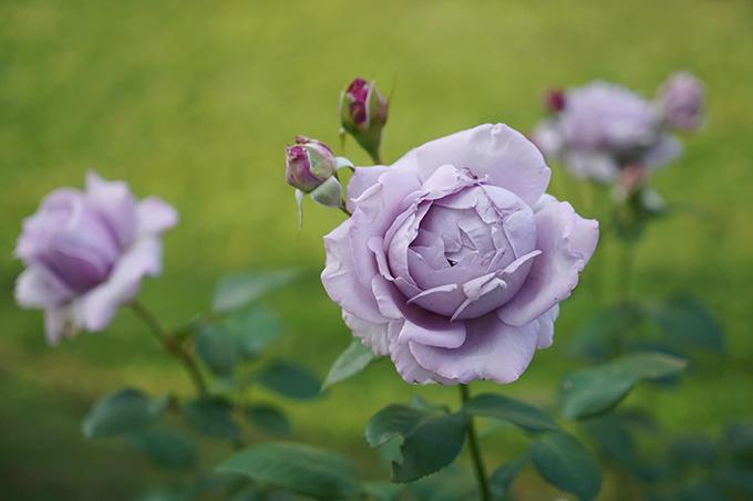 Vườn hoa hồng tím của 9X - 2