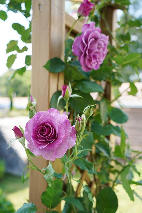 Vườn hoa hồng tím của 9X - 4