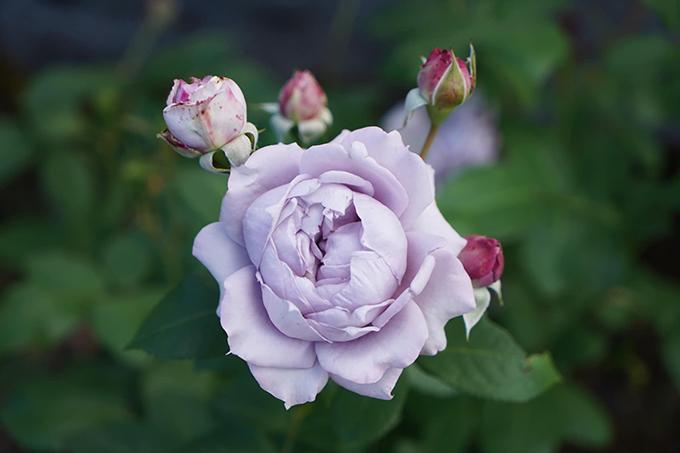 Vườn hoa hồng tím của 9X - 5