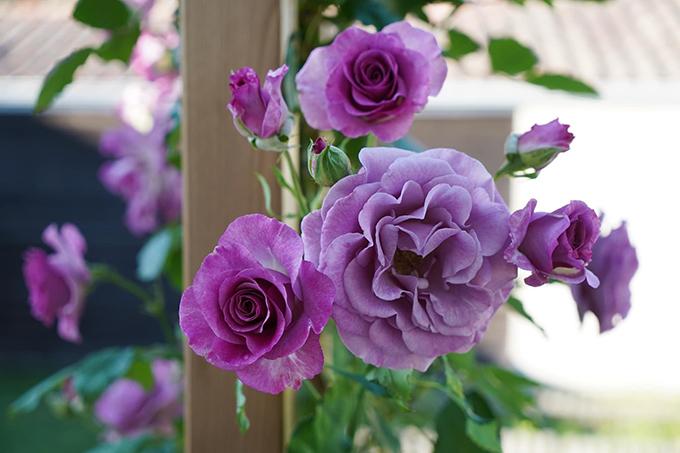 Vườn hoa hồng tím của 9X - 3