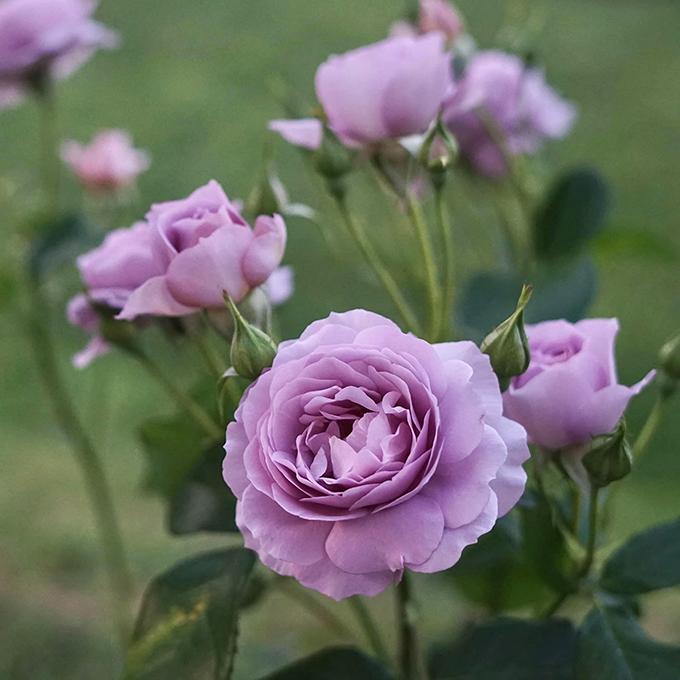Các cây hoa được Ngọc Anh chăm sóc kỹ lưỡng nên đều có bán kính đạt chuẩn như trồng ở nhà vườn chuyên nghiệp.
