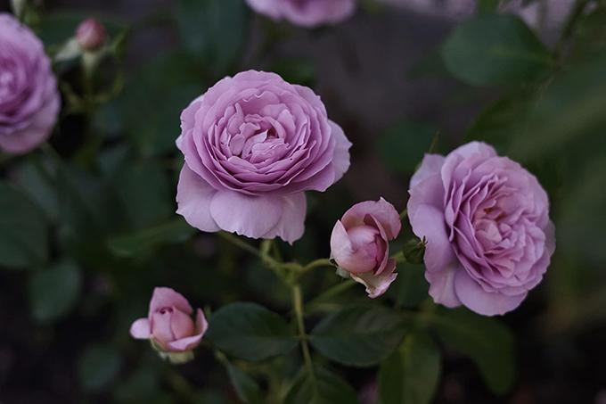 Giống hồng bụi Lady Perfume.