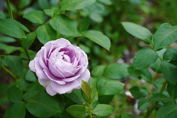 Vườn hoa hồng tím của 9X - 6