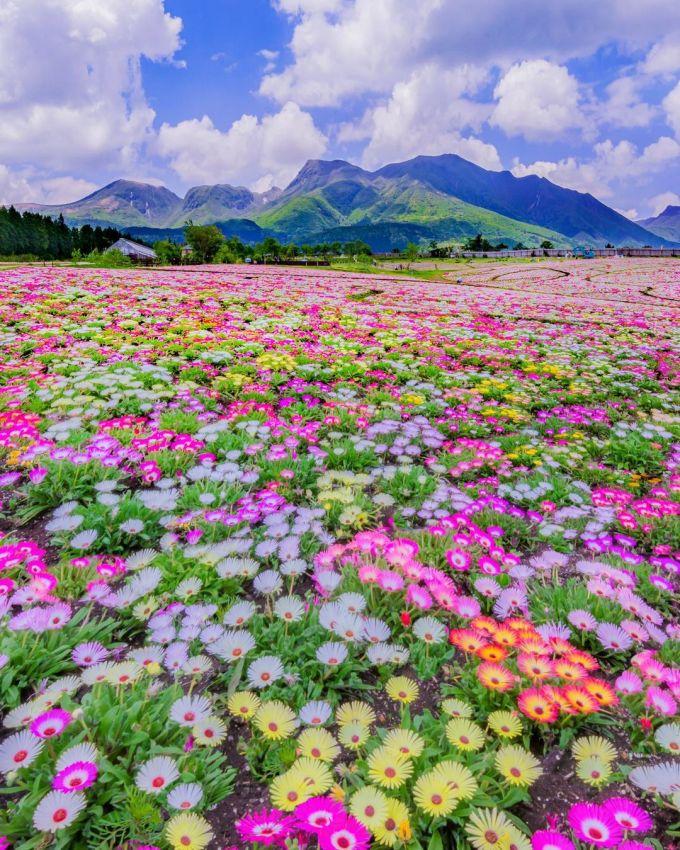Mùa du lịch lý tưởng ở Kuju là từ tháng 3 đến tháng 11, bạn có thể ghé qua bất kỳ lúc nào cũng có hoa nở. Công viên chỉ nghỉ đông từ tháng 12 đến tháng 2 năm sau.