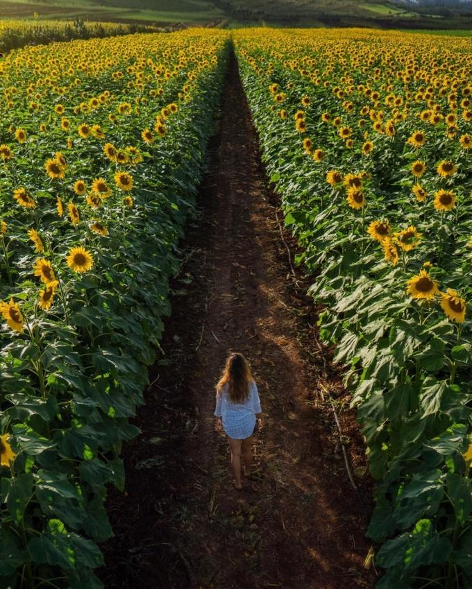 Cách đó không xa là các trang trại hoa hướng dương bạt ngàn, đồng lúa xanh mướt... rất hút khách check-in.